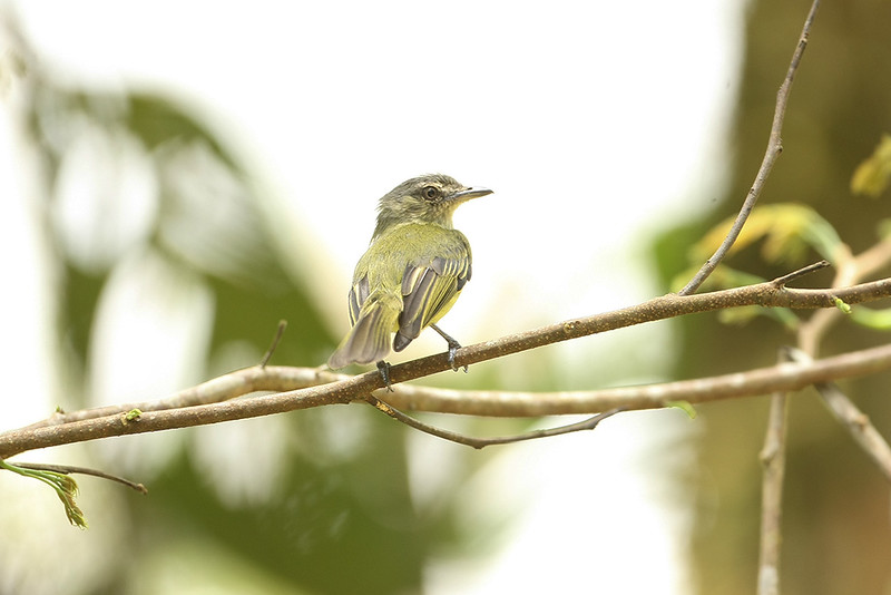 Grey-crowned Flatbill