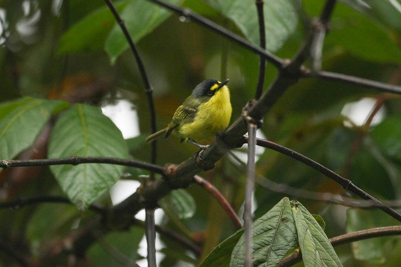 Yellow-lored Tody-Flycatcher