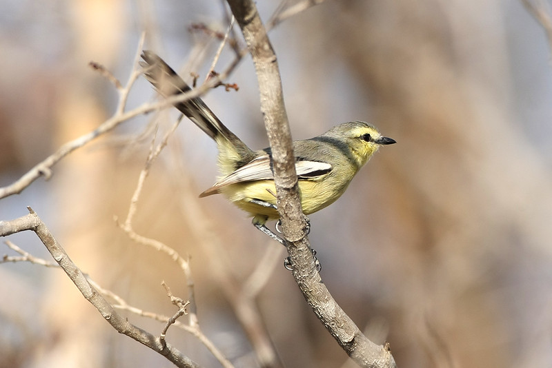 Lesser Wagtail Tyrant