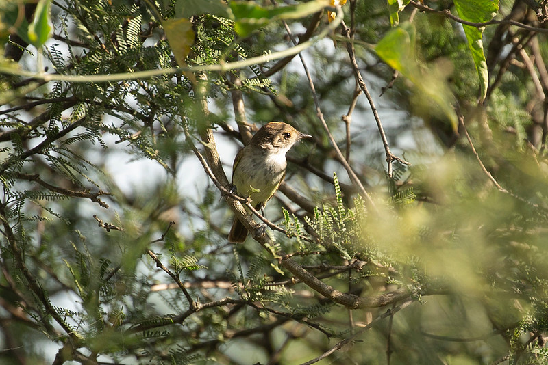 Tawny-crowned Pygmy Tryant