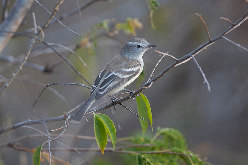 Mouse-coloured Tyrannulet