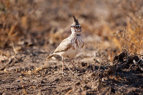 182 Alaudidae - Larks