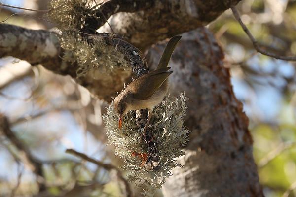 196 Bernieridae - Malagasy Warblers