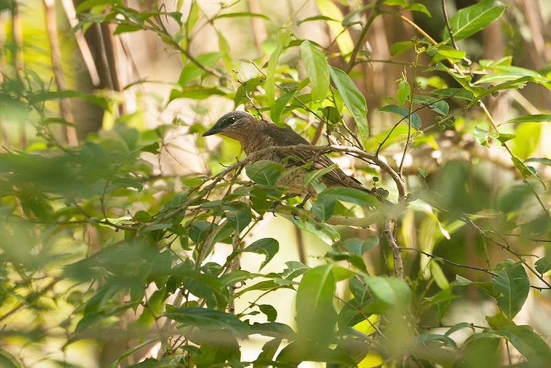 Admiralty Cicadabird