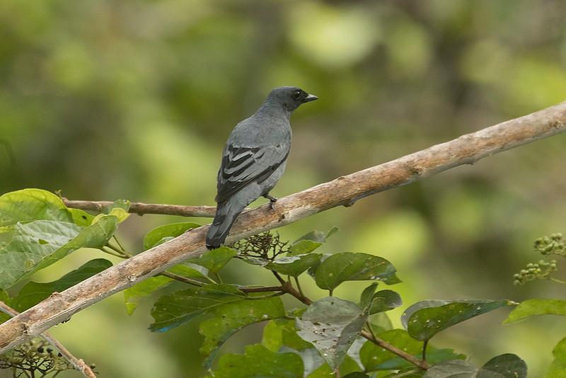 Grey-headed Cuckooshrike