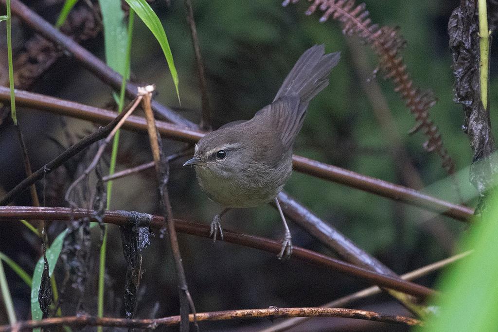 Sunda Bush Warbler