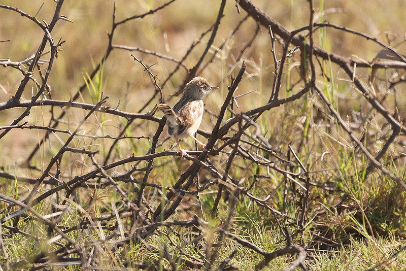Madagascar Cisticola