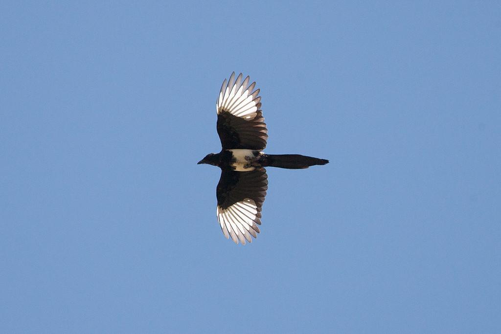 Eurasian (Tibetan) Magpie