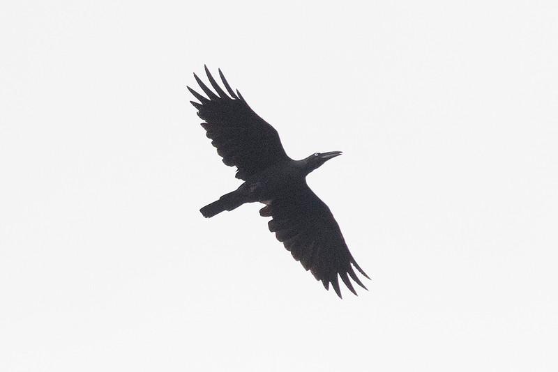 Long-billed Crow