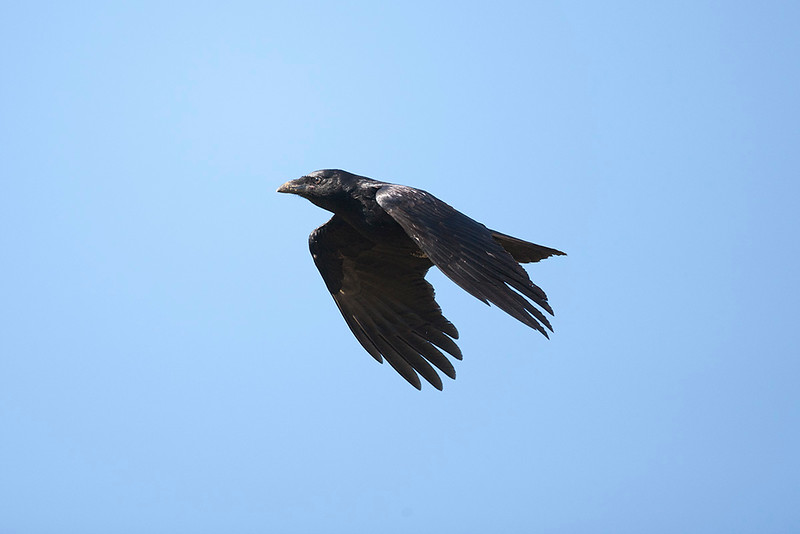 Forest Raven