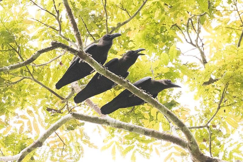 Brown-headed Crow