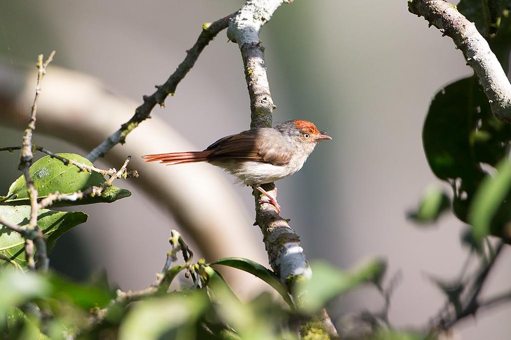 Chestnut-capped Flycatcher