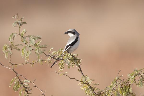 157 Laniidae - Shrikes