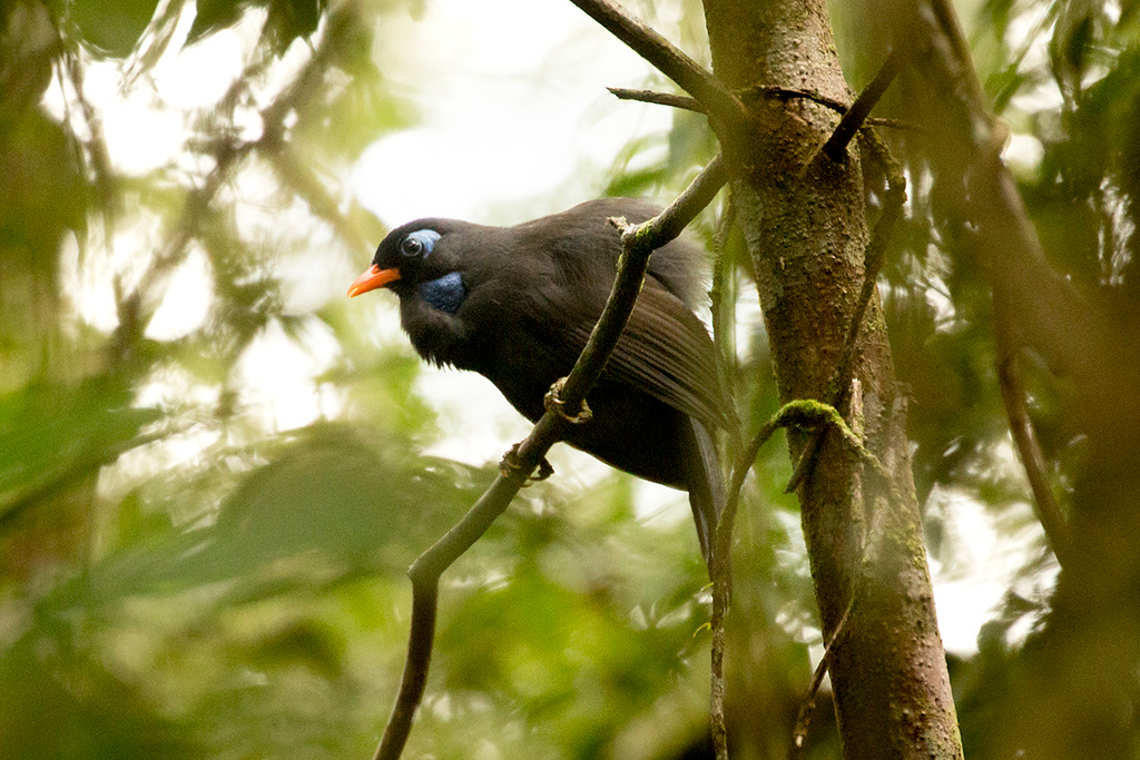 Black Laughingthrush