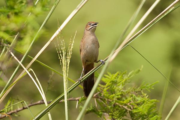 186 Macrosphenidae - Crombecs