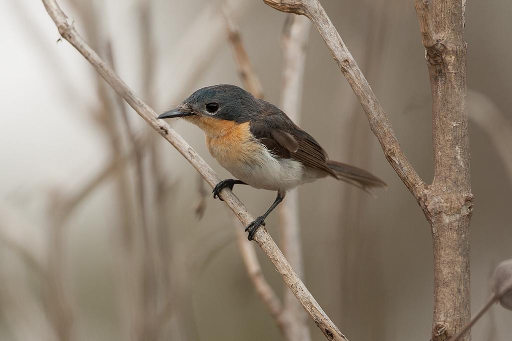 Broad-billed Flycatcher