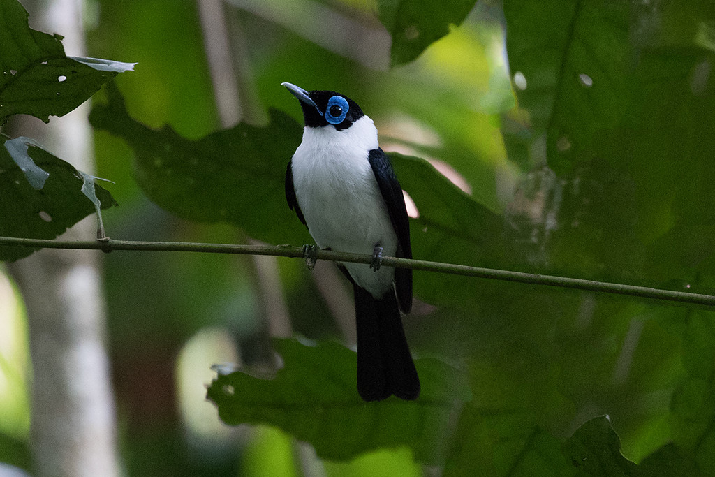 Frilled Monarch