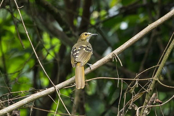 181 Nicatoridae - Nicators