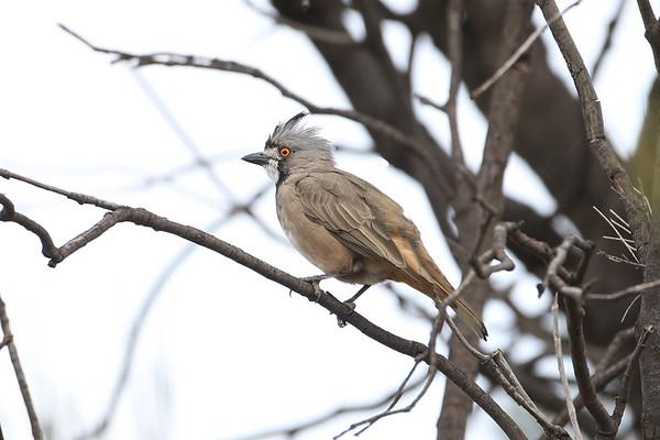 155 Oreoicidae - Crested Bellbird & Allies