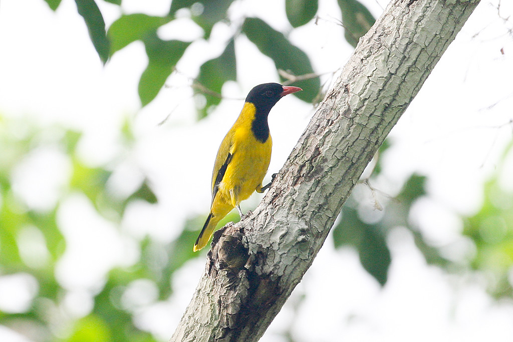 Black-winged Oriole