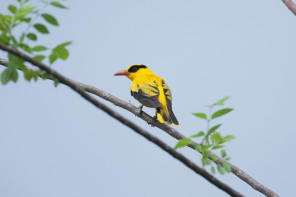 159 Oriolidae - Figbirds & Orioles