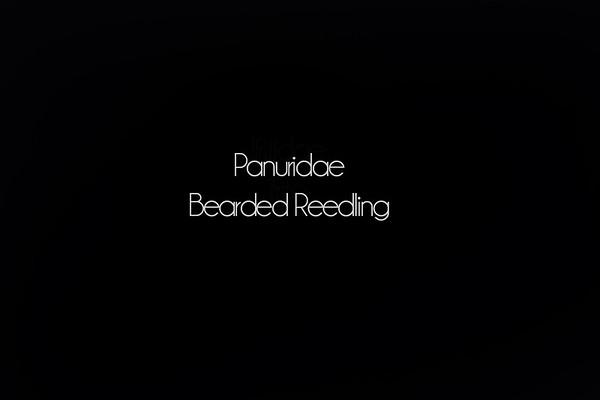 180 Panuridae - Bearded Reedling