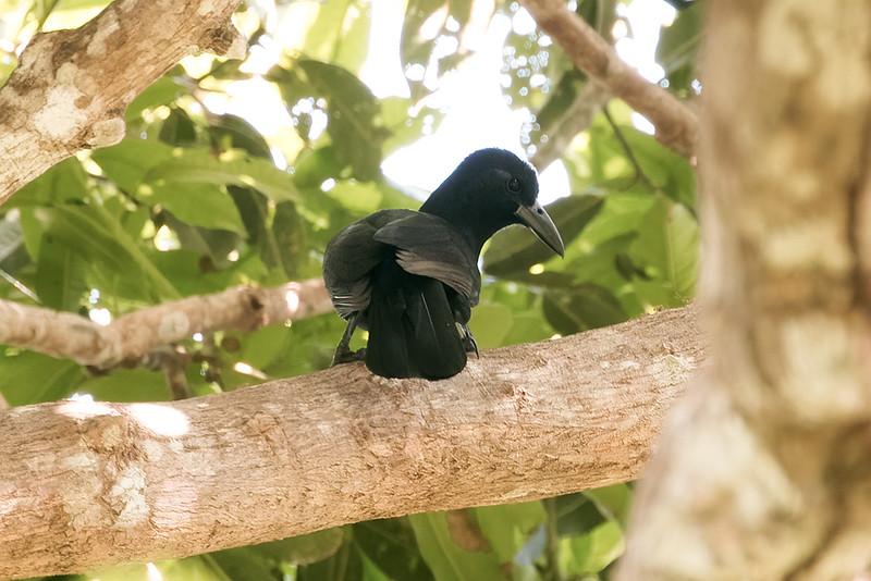 Paradise-crow (race obiensis)