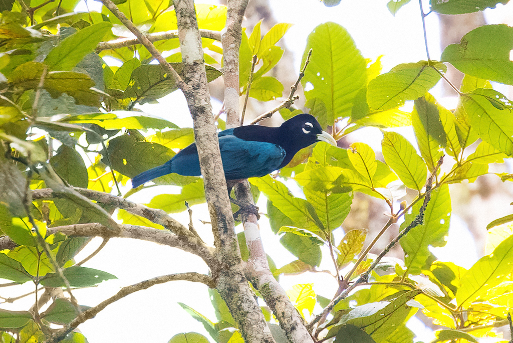Blue Bird-of-Paradise