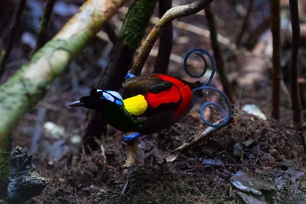 167 Paradisaeidae - Birds-of-paradise