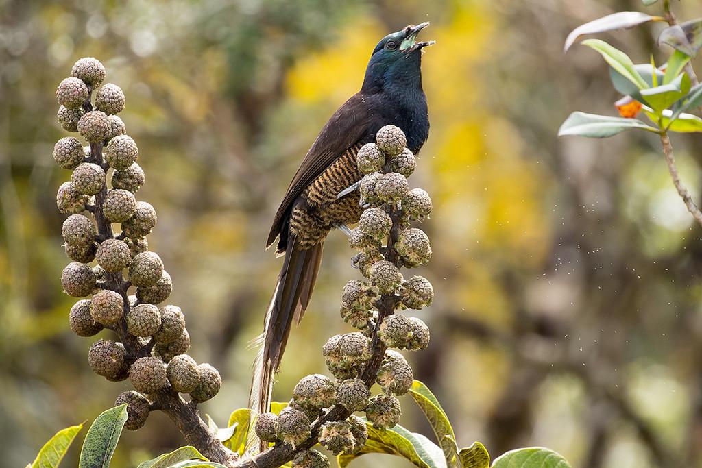Ribbon-tailed Astrapia - (female)