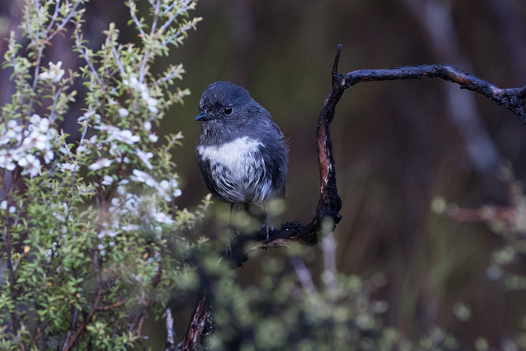 South Island (Stewart Island) Robin
