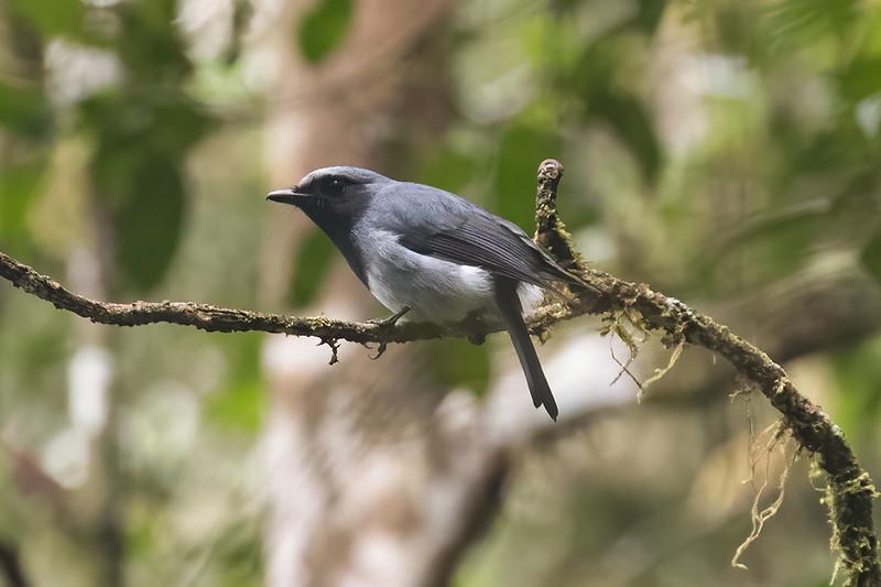 Black-throated Robin
