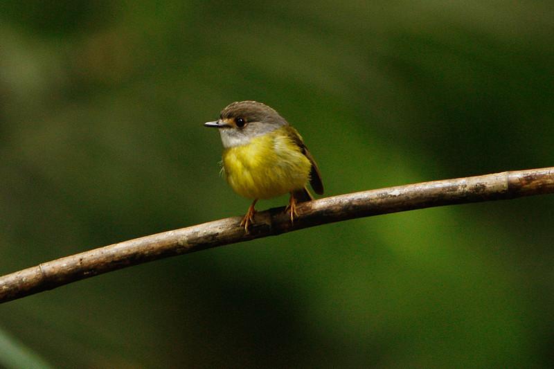 Pale Yellow Robin
