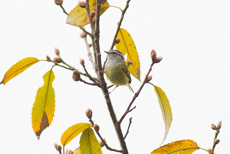 Ashy-throated Leaf Warbler