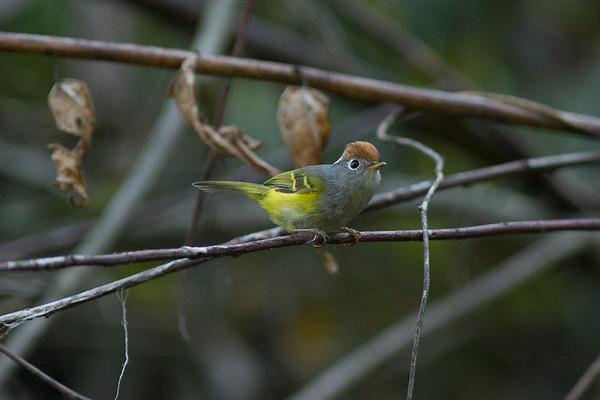 192 Phylloscopidae - Leaf Warblers
