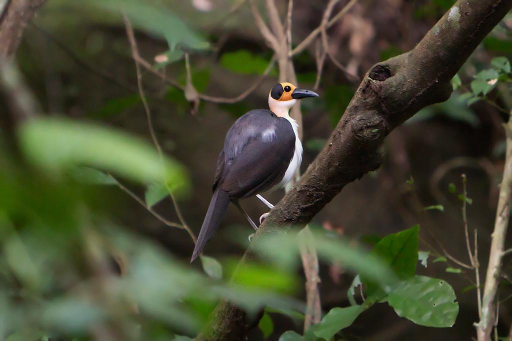 White-necked Rockfowl