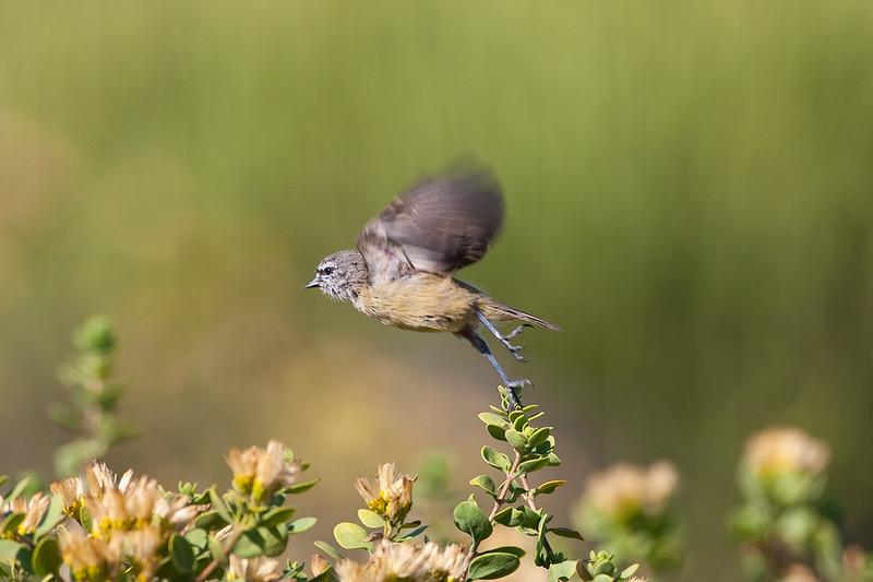 Cape Penduline Tit