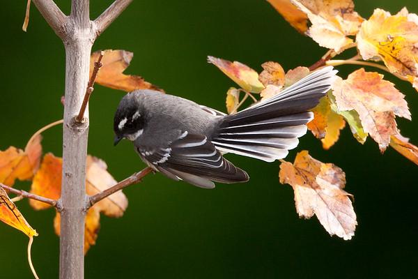 161 Rhipiduridae - Fantails