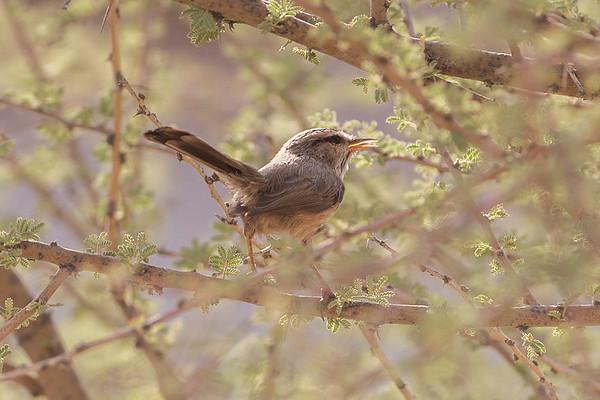 188 Scotocercidae - Streaked Scrub Warbler