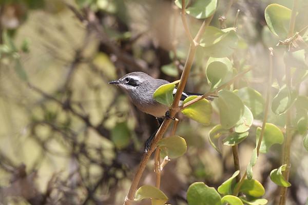 177 Stenostiridae - Fairy Flycatcher