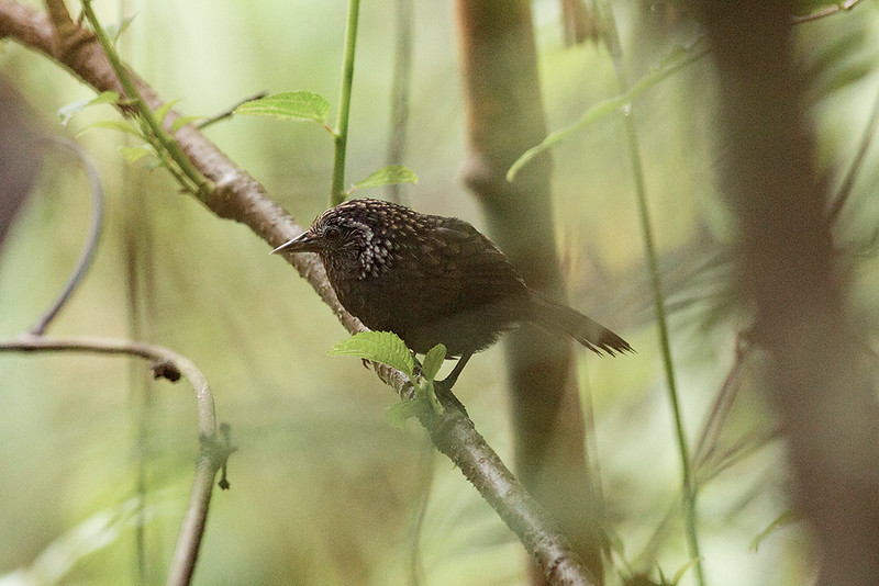 Sikkim Wedge-billed Babbler