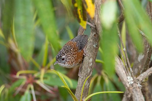 198 Timalidae - Babblers