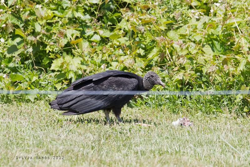 BLACK VULTURE <i>Coragyps atratus</i> Higbee, Cape May New Jersey, USA  the Black Vulture was feeding on some kind of bird