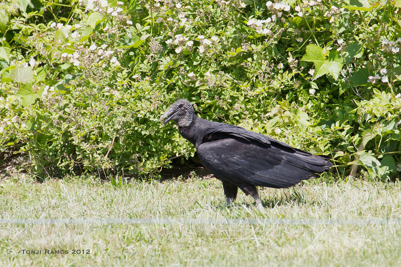 BLACK VULTURE <i>Coragyps atratus</i> Higbee, Cape May New Jersey, USA