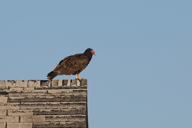 TURKEY VULTURE <i>Carthartes aura</i> Higbee, Cape May New Jersey, USA