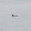 COMMON LOON <i>Gavia immer</i> Nummy Island, Cape May New Jersey, USA