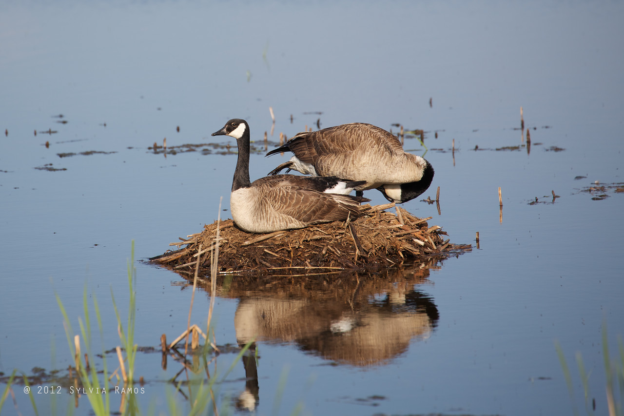 CANADA GOOSE <i>Branta canadensis</i> South Meadow Cape May, New Jersey USA