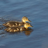 MALLARD, immature <i>Anas platyrhynchos</i> South Meadow Cape May, New Jersey USA