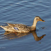MALLARD, female  <i>Anas platyrhynchos</i> South Meadow Cape May, New Jersey USA