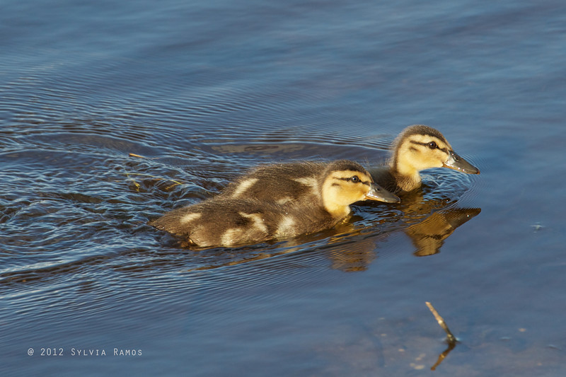 MALLARD, immature <i>Anas platyrhynchos</i> South Meadow Cape May, New Jersey USA